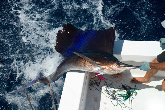 cabo-deep-sea-fishing-sailfish
