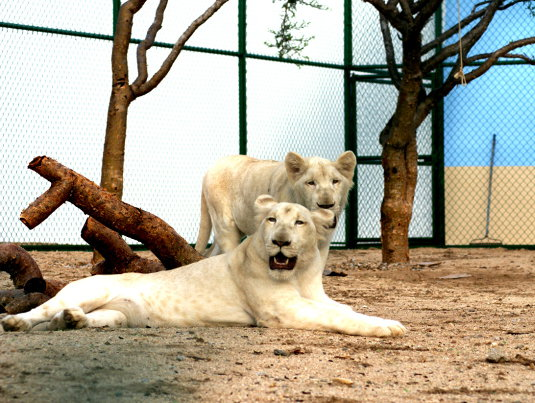 White Lion Reserve Exhibit In Cabo San Lucas