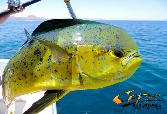 Best things to do in cabo archives g force adventures for Deep sea fishing los angeles