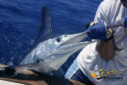 marlin fishing cabo